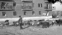 Los últimos pastores de Vallecas