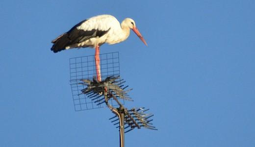 Las cigüeñas hacen su nido en Vallecas